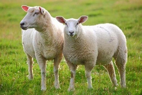viên uống nhau thai cừu có tốt không-4